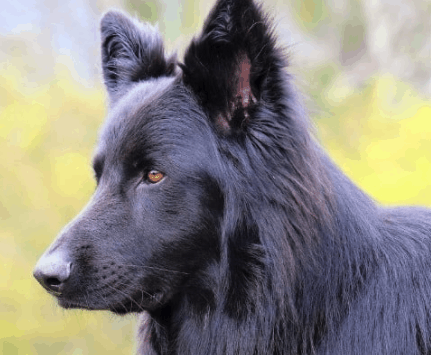 What is a Lycan Shepherd